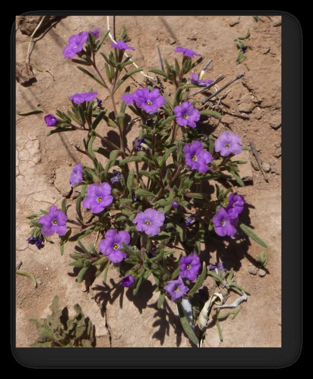 Springsummer Flowering Plants On The Jornada Jornada